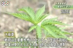 大麻草.png